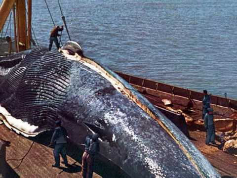 an introduction to the issue of whaling and the whale population Using a provision in the whaling treaty that allows member states to issue permits to hunt protected species for scientific research, japan has continued taking more than 400 antarctic minke whales and 100 north pacific minke whales annually.