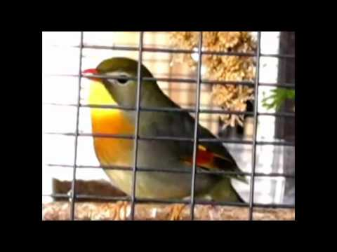 Video ☆Kicau Robin Calon Juara