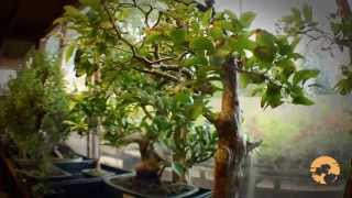 How To Buy Bonsai Trees, A Guide To Choosing Bonsai Trees For Beginners -