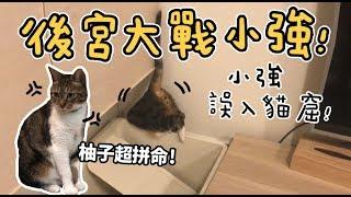 【黃阿瑪的後宮生活】後宮大戰小強!小強誤入貓窟!