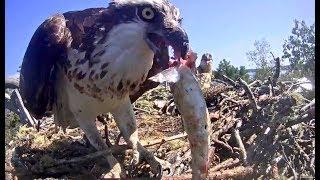 Rachel's struggle to eat some fish. Hog Island Ospreys. 13 July 2019