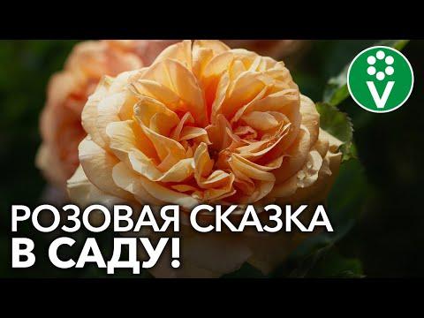 7 лучших сортов АНГЛИЙСКИХ РОЗ, которые наполнят ваш сад романтикой!