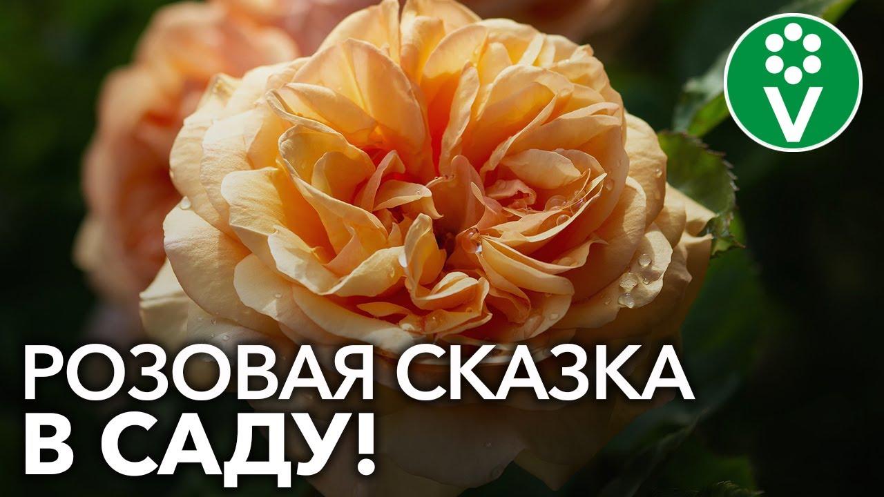 7 лучших сортов АНГЛИЙСКИХ РОЗ!
