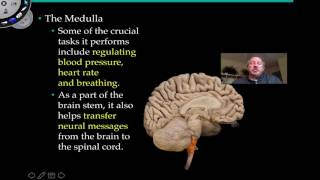 The Medulla Oblongata and Pons