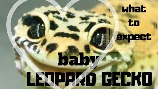 BABY LEOPARD GECKO || WHAT TO EXPECT. Baby Leopard Gecko Care ,Leopard Gecko Setup