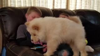 Four month old Chow Chow puppy seeking attention.