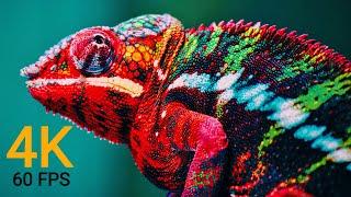 Wildlife Animals 4K 60FPS (ULTRA HD)