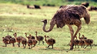 Awesome Ostrich Bird Facts | Egg | Attack | Running | ZOO LIFE | Kaumudy TV