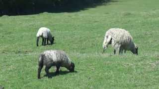 preview picture of video 'Field of Sheep at Gretton nr. Corby, 26/05/2013'