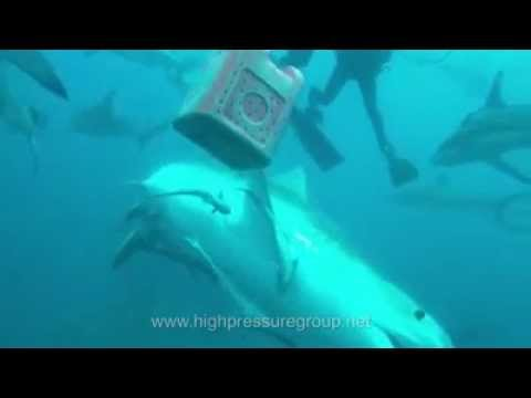Tigerhaitauchen - www.sharkexperience.com, Aliwal Shoal,Umkomaas,bei Durban,Südafrika