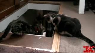 Кот предатель короткий прикол