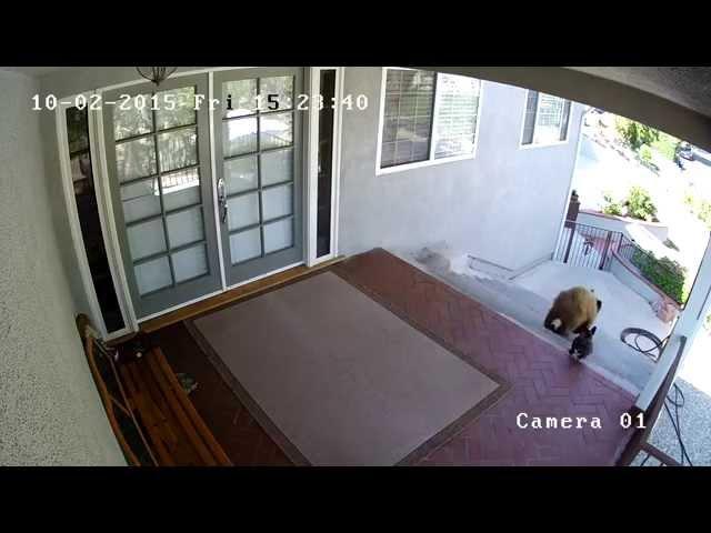 كلب صغير يهاجم دبين ويطردهما من باحة المنزل