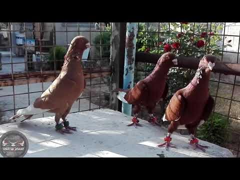 , title : 'ثلاث فحولة مساويد شغل السلمية حماة Oiseaux पक्षी  Birds Guvercinler kuşlar pigeons