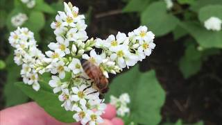 Growing Buckwheat For Your Small Farm