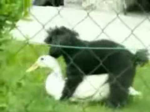 Duck and Dog - animals fucking