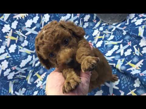 Sam red Toy Poodle Boy