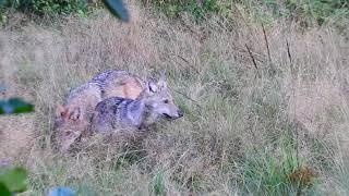 Film do artykułu: Młode wilki uchwycone w...
