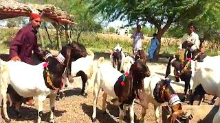 goat farming in pakistan sindh - मुफ्त ऑनलाइन