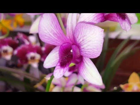 Цветение орхидей МАЙ 2019
