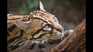 13 Facts About Solitary, Endangered And Rarely Seen Ocelot