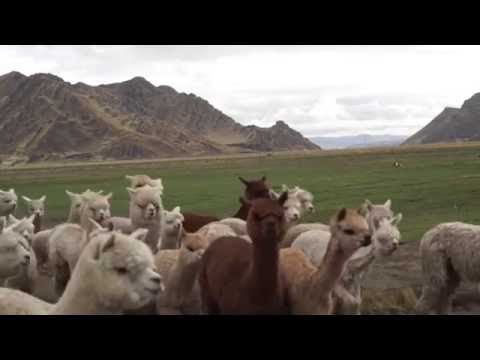 Baby Alpakawolle Produktion in Peru