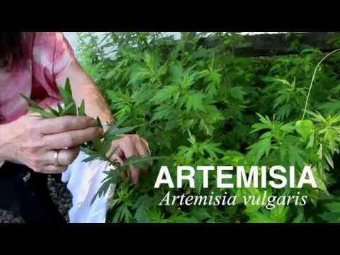 Video Plant Medicine Series: Artemisia (Mugwort/Cronewort)