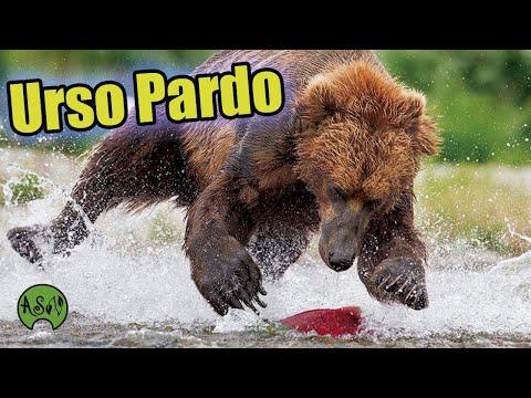 Urso Pardo Caando   Animais Selvagens   Bear   Urso Pescando Salmo   Urso Pardo Kodiak Alaska