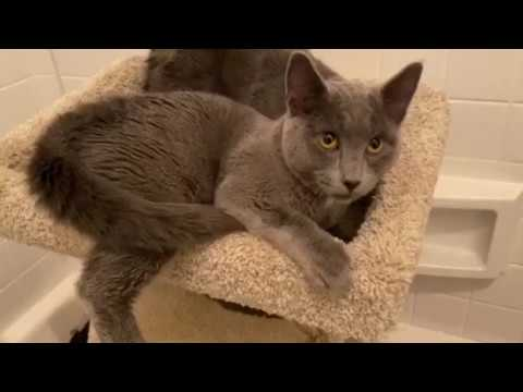 Tips, an adoptable Domestic Short Hair Mix in Springfield, OR