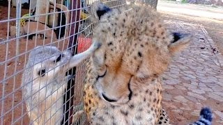 African Cheetah Versus Meerkats | Big Cat Gets Small Animal to Groom Him & Then Purrs | Loves It