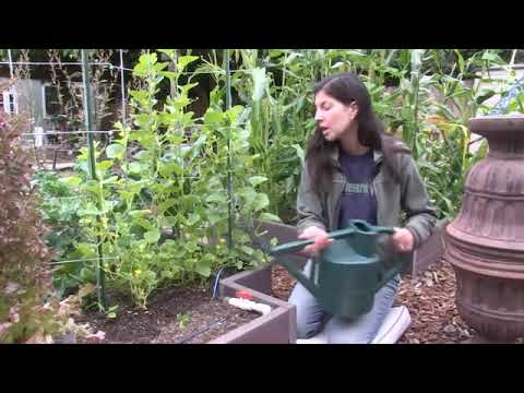 , title : 'How to Water Cucumber Plants