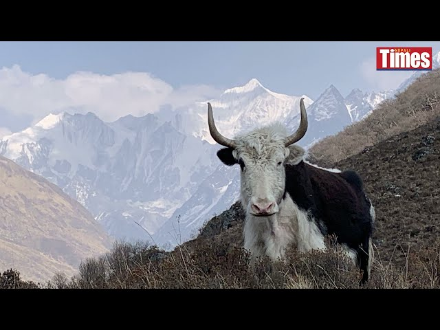 Langtang revives its cheese heritage