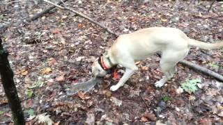 Ladner Black Mouth Cur, Ringo squirrel hunting