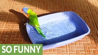 Rainbow Lorikeet super excited for bath time