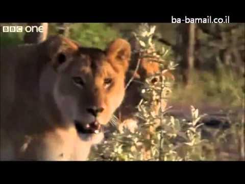 3 גברים מול 15 אריות רעבים - סרטון מדהים!!