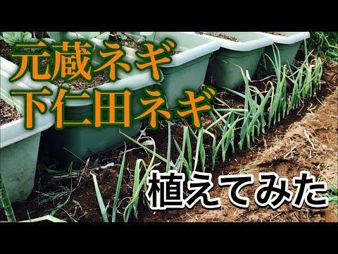 ☆元蔵ネギと下仁田ネギを植えてみた☆にゃんこ動画のおまけあり【誰にでもデキる!素人のゆる~い家庭菜園】