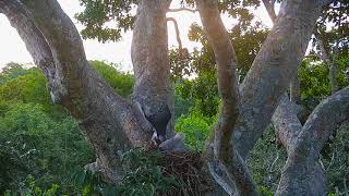 Harpy Eagle chick adapting behavior as the mother - HarpyCam # 29