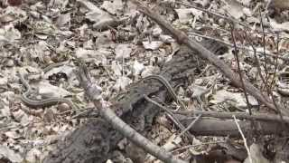 Common Garter Snake mating ball part 3