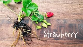 How To Grow Strawberries In Containers | IN BETH'S GARDEN