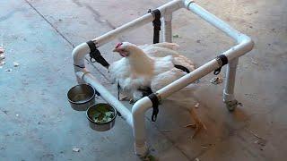 Overweight chicken uses wheelchair to get around