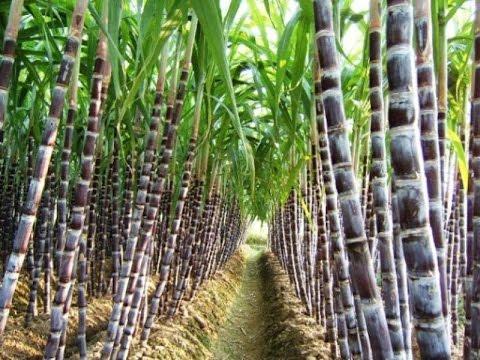 Beneficios y Características del Cultivo de Caña de Azucar - TvAgro por Juan Gonzalo Angel