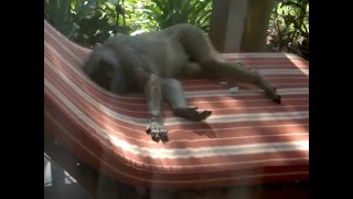 preview picture of video 'Baboon Napping on Sun Lounger'