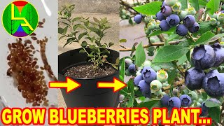 How to grow blueberries at home?
