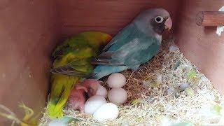 parrots for sale in lahore - 免费在线视频最佳电影电视节目