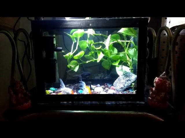 Money plant/ pothos plant in fish tank