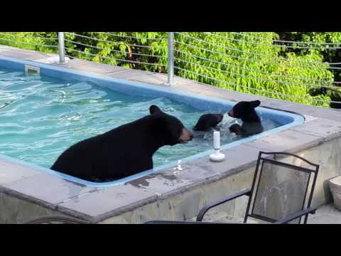 Family of Bears Take a Splash in the Pool