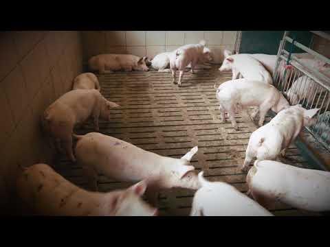 Schwein konventionell - Belüftung