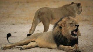 Morte do leão Cecil no Zimbábue comove o mundo