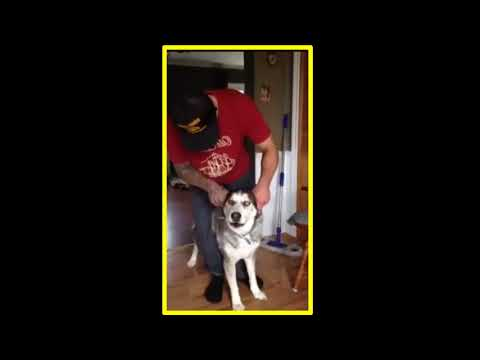 Husky growls like a motorcycle