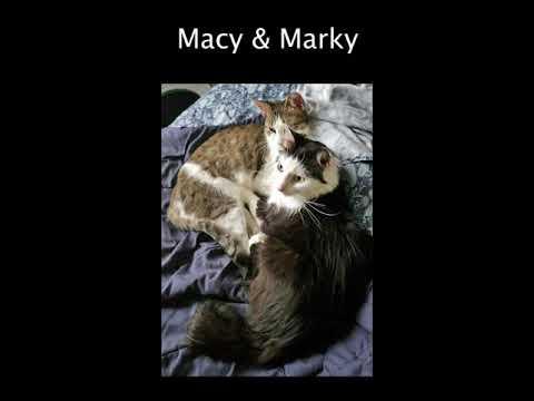 Macy & Marky, an adoptable Domestic Medium Hair & Domestic Short Hair Mix in Brooklyn, NY_image-1