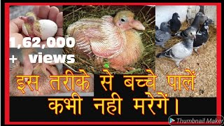 how to take care & hand feed Baby Pigeons By Aman Prabhakar